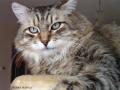Denney Siberian Star CZ.Sibiřský kocourek, který mě a mou rodinu naučil lásce ke kočičkám.