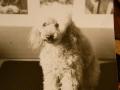 Arica. 1967 - 1984. Pudlička apricot, přes 10 let během dne bydlící se starou paní, na výstavách umisťována na 2. místě kvůli tmavému