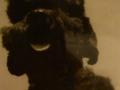 Ria. 1951 - 1967 Černý střední pudlík, chovná fenka, klidná, neštěkavá, úspěšná na výstavách, šestero stejně úspěšných a ...