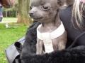 4měsíční štěndo čivavy se vešlo do dlaně