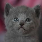 Kartouzské kotě